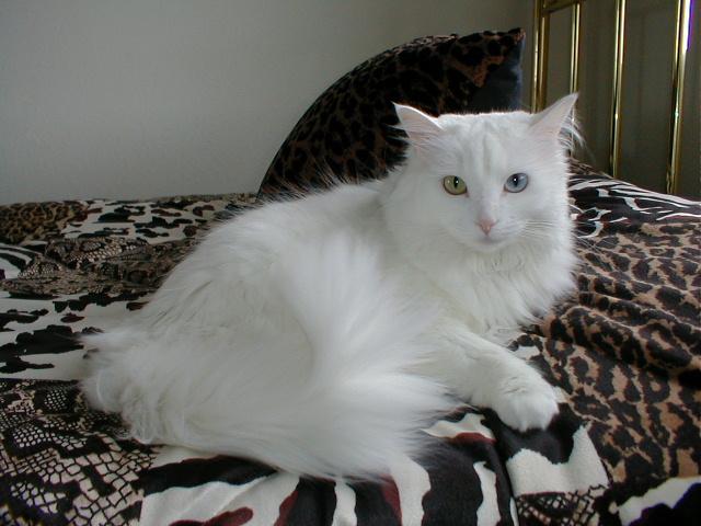 Foto Hidung Kucing Anggora