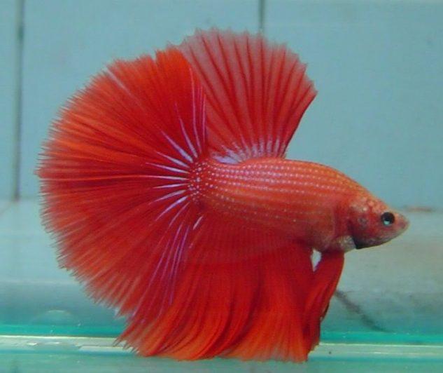 Gambar Ikan Cupang Halfmoon