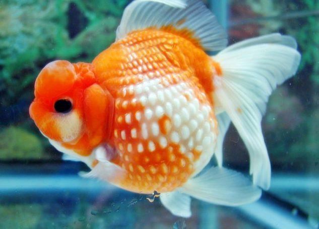 Gambar Ikan Mas Koki Sisik Mutiara