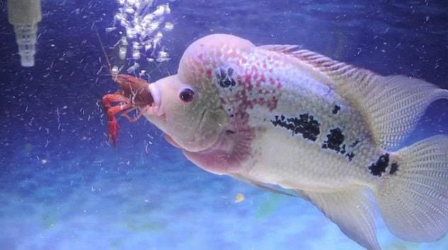 Makanan Ikan Louhan Agar Jenonng