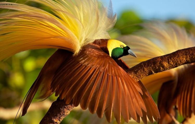 Gambar Dan Jenis Burung Cendrawasih Ragam Informasi
